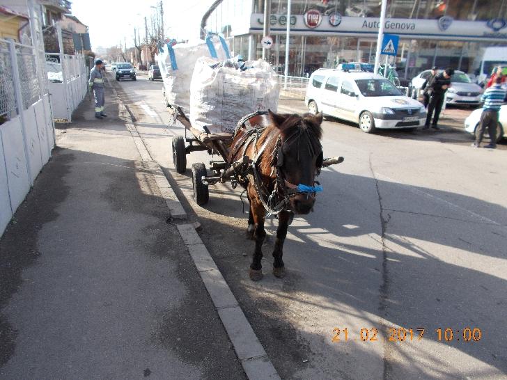 Comunicat de presa Politia Locala Ploiesti .Peturi confiscate şi căruţaşi amendaţi