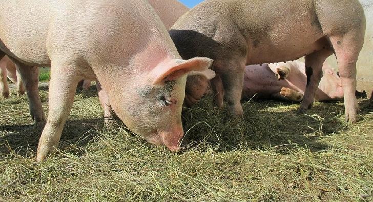 Primăria Municipiului Ploieşti informează cetăţenii cu privire la măsurile care trebuie luate în gospodării pentru combaterea pestei porcine africane