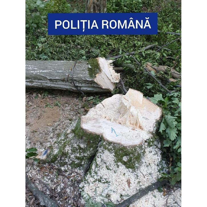 Dosar penal pentru tăiere fără drept de arbori din vegetaţia  forestieră