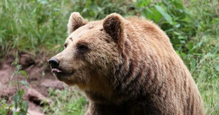 Un barbat a fost atacat de un urs, la Maneciu