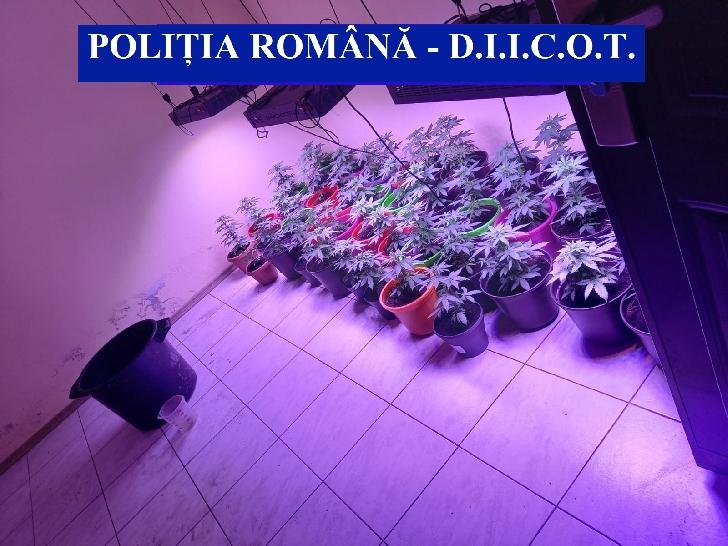 7 percheziţii domiciliare, în judeţele Prahova, Mehedinţi şi Timiş, la persoane bănuite de cultivare şi trafic de cannabis (video)